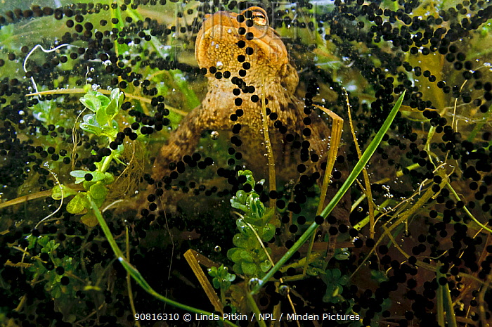 Common toad (Bufo bufo), in a pond, with spawn, Surrey, England, UK. March.