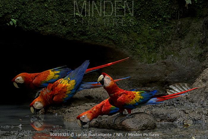 Scarlet Macaws (Ara macao) drinking water inside an Amazonian claylick. Yasuni National Park, Orellana, Ecuador