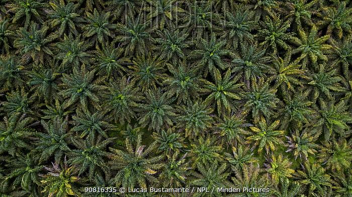 Palm oil crops in the Ecuadorian Choco, Esmeraldas, Ecuador