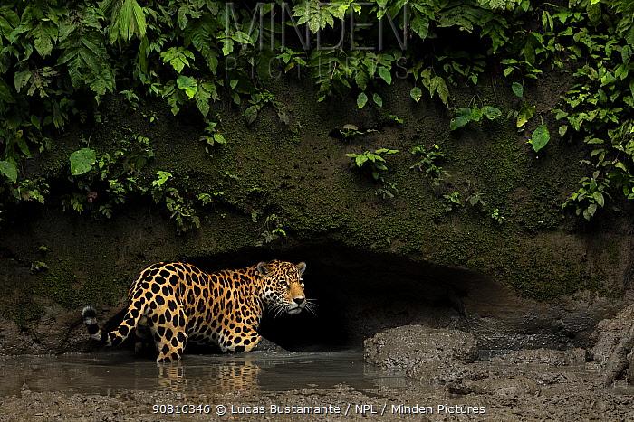 Jaguar (Panthera onca) standing in mud, Yasuni National Park, Orellana, Ecuador