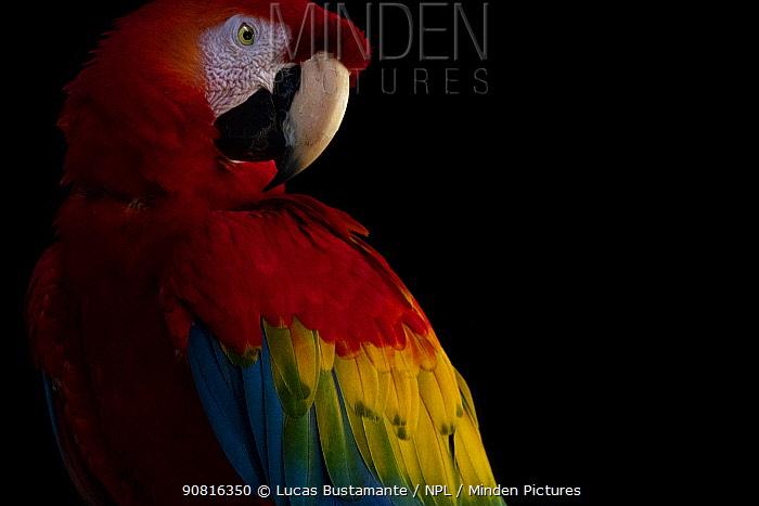 Scarlet macaw (Ara macao) Tambopata National Reserve, Madre de Dios, Peru.