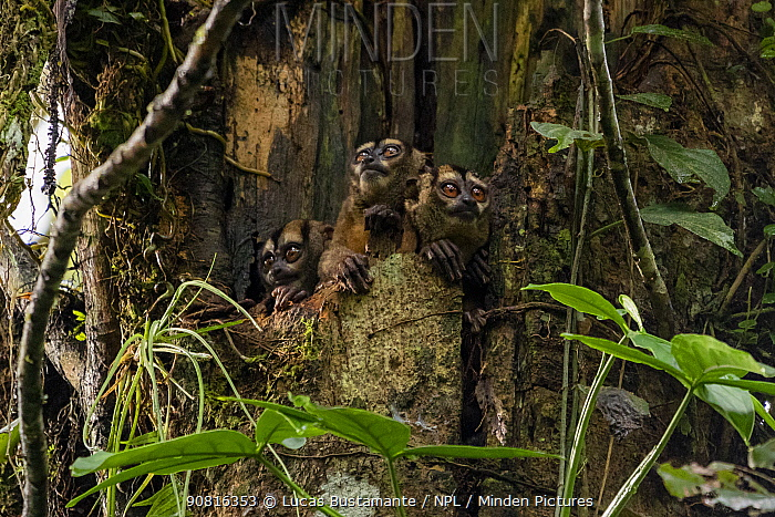 Spix's night monkeys (Aotus vociferans) in a tree hole, Yasuni National Park, Orellana, Ecuador