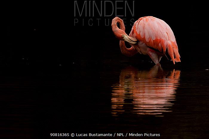 Galapagos flamingo (Phoenicopterus ruber glyphorhynchus) Isabela Island, Galapagos Islands.