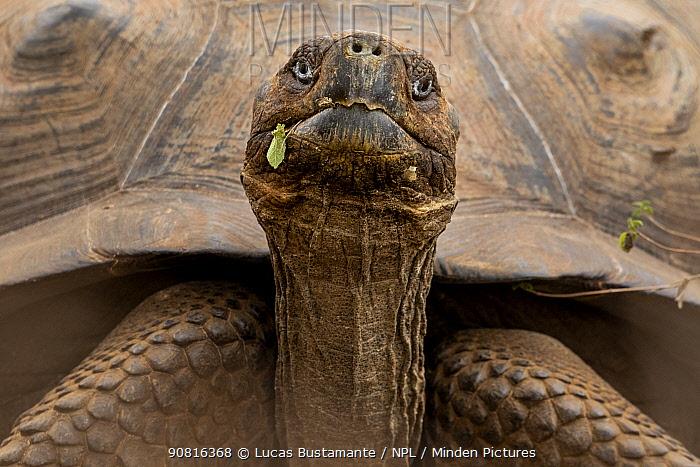 Sierra Negra giant tortoise (Chelonoidis guntheri) Isabela Island, Galapagos Islands.