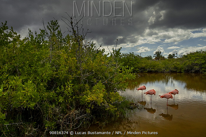Galapagos Flamingos (Phoenicopterus ruber glyphorhynchus) Isabela Island, Galapagos Islands.
