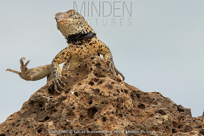 Floreana Lava-Lizard (Microlophus grayii) sunbathing. Floreana, Galapagos Islands.