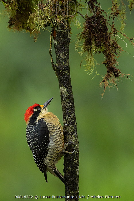 Black-Cheeked Woodpecker (Melanerpes pucherani) Mashpi, Pichincha, Ecuador