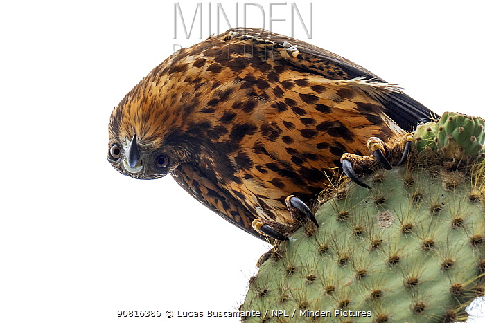 Galapagos Hawk (Buteo galapagoensis) perched on Opuntia cactus, Pinzon or Duncan Island, Galapagos Islands.
