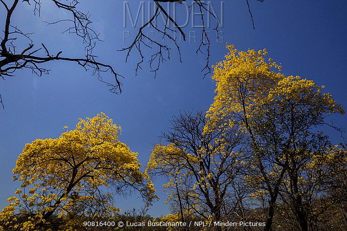 Araguaney / Yellow Ipe / Guayacan tree (Tabebuia chrysantha) blooming, Mangahurco, Loja, southern Ecuador