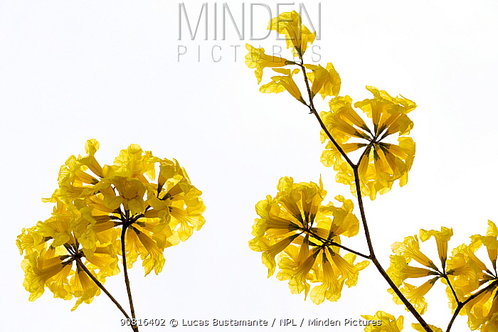 Araguaney / Yellow Ipe / Guayacan tree (Tabebuia chrysantha) flowers, Mangahurco, Loja, southern Ecuador
