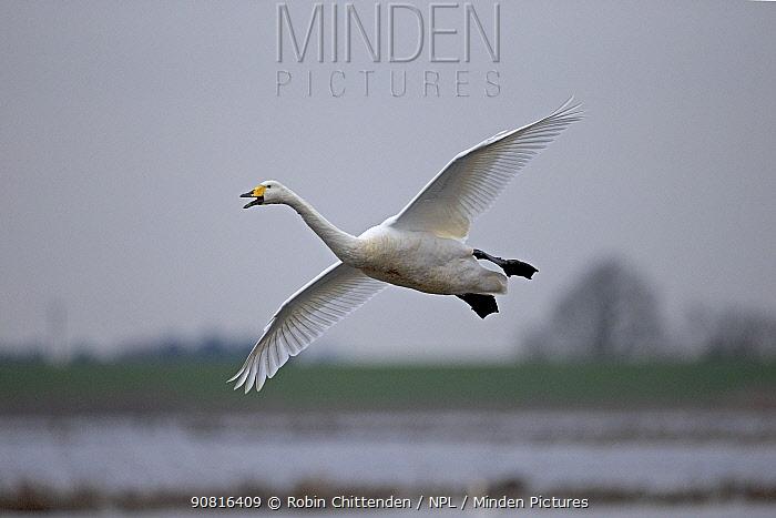 Whooper swan (Cygnus cygnus) in flight, Norfolk, England, UK, January.