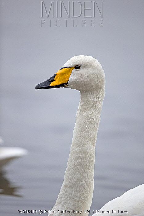 Whooper swan (Cygnus cygnus) Norfolk, England, UK, January.