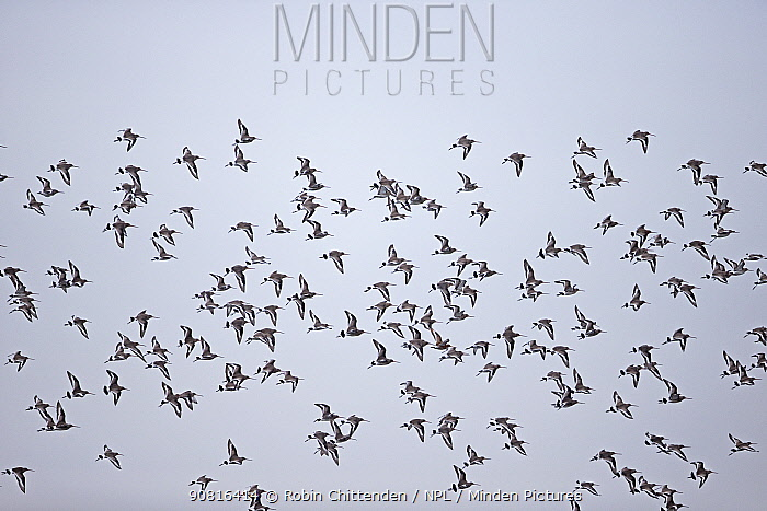 Black-tailed godwit (Limosa limosa islandica) flock in flight, Norfolk, England, UK, January.