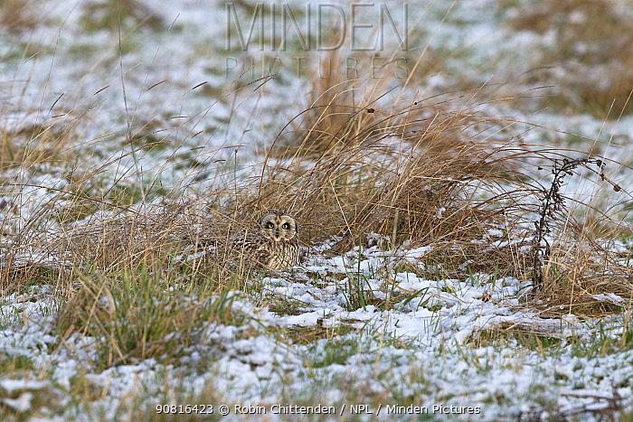 Short-eared Owl (Asio flammeus) on ground in snow, Norfolk, England, UK, January.