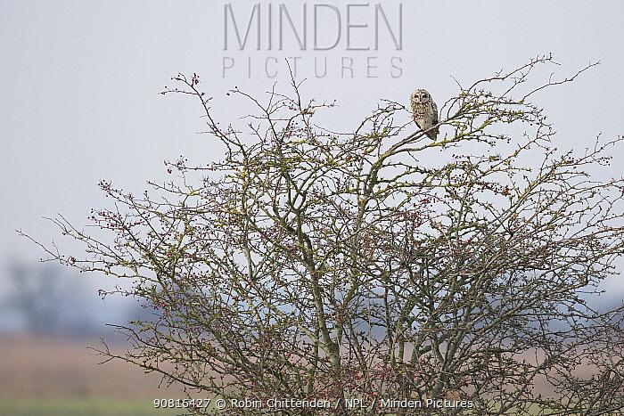 Short-eared Owl (Asio flammeus) Norfolk, England, UK, January.