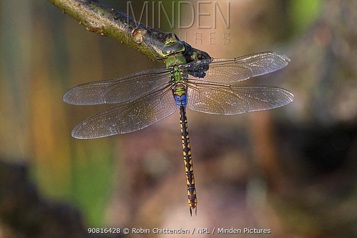 Lesser green emperor (Anax indicus) Sri Lanka.