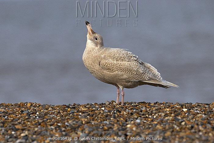 Glaucous gull (Larus hyperboreus) Norfolk, England, UK. February.