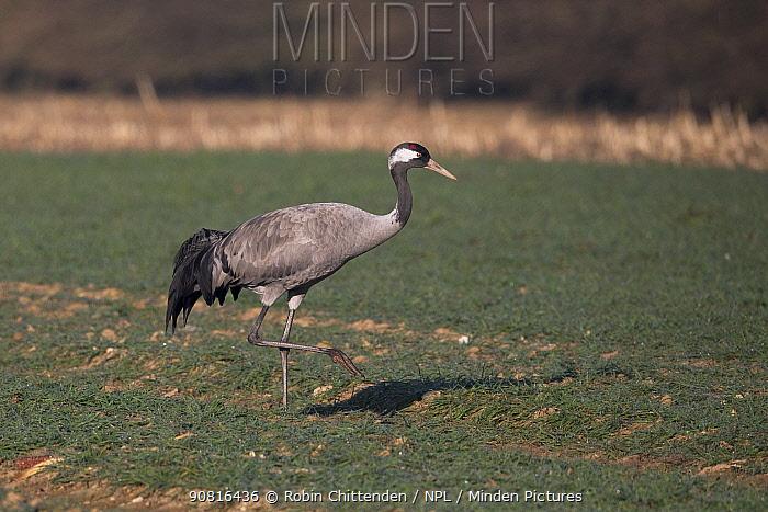Common Crane (Grus grus) Norfolk, England, UK. February.