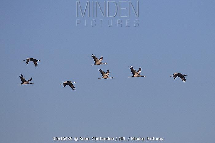 Common crane (Grus grus) group of seven in flight, Norfolk, England, UK, February.