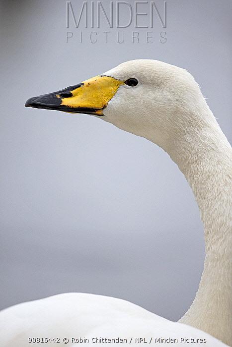 Whooper swan (Cygnus cygnus) Norfolk, England, UK January.