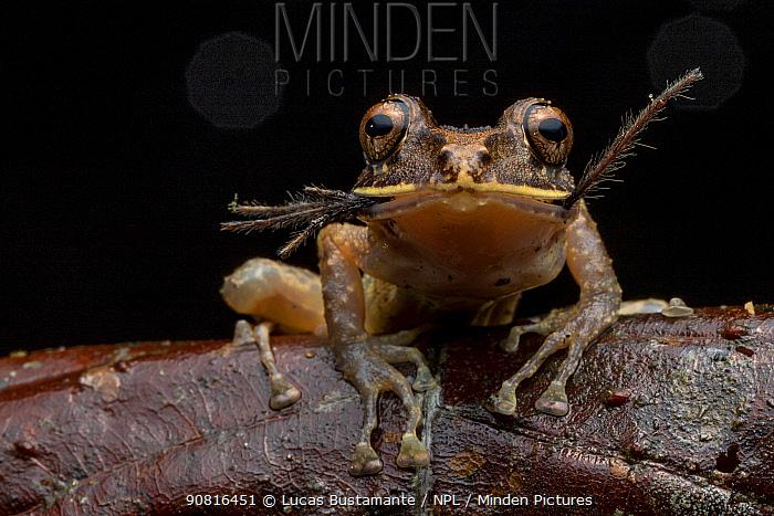 Labiated rainfrog (Pristimantis labiosus) Mashpi, Pichincha, Ecuador