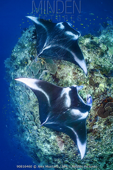 Pair of large reef manta rays (Mobula alfredi) swim over a coral reef cleaning station. Misool, Raja Ampat, West Papua, Indonesia. Ceram Sea. Tropical West Pacific Ocean.