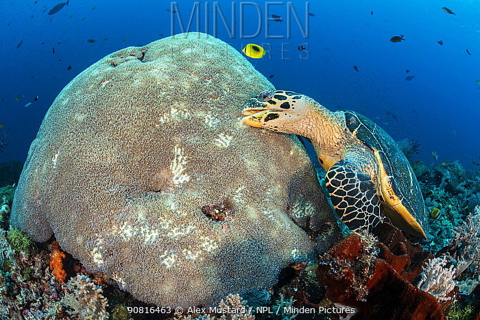 Hawksbill turtle (Eretmochelys imbricata) unusually feeding on hard coral polyps. Misool, Raja Ampat, West Papua, Indonesia. Ceram Sea. Tropical West Pacific Ocean.