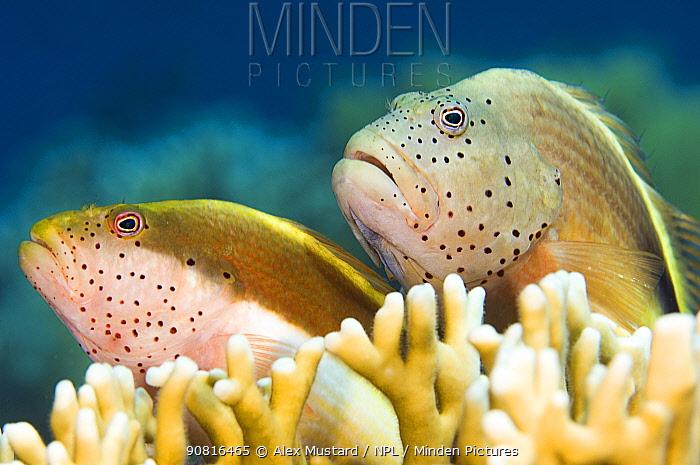 Forster's hawkfish (Paracirrhites forsteri) on a coral reef. Jackson Reef, Tiran, Sinai, Egypt. Strait of Tiran, Gulf of Aqaba, Egypt.