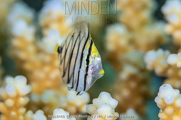 Post larval Red Sea sailfin tang (Zebrasoma desjardinii), Gubal Island, Egypt. Strait Of Gubal, Gulf of Suez, Red Sea.