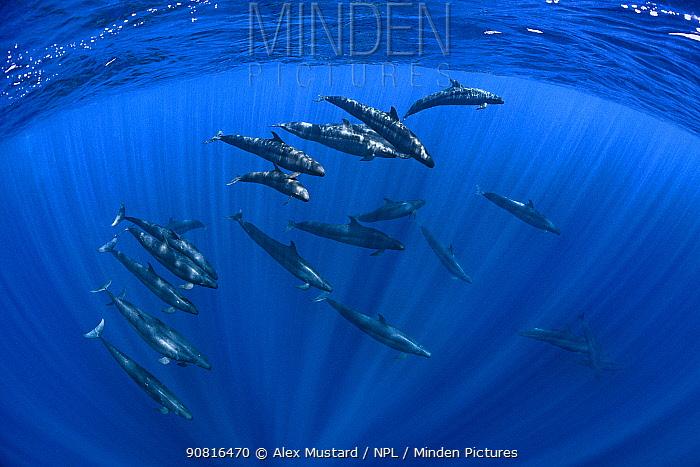 Pod of False killer whales (Pseudorca crassidens) swimming beneath the surface of the ocean. Indian Ocean, off Sri Lanka.