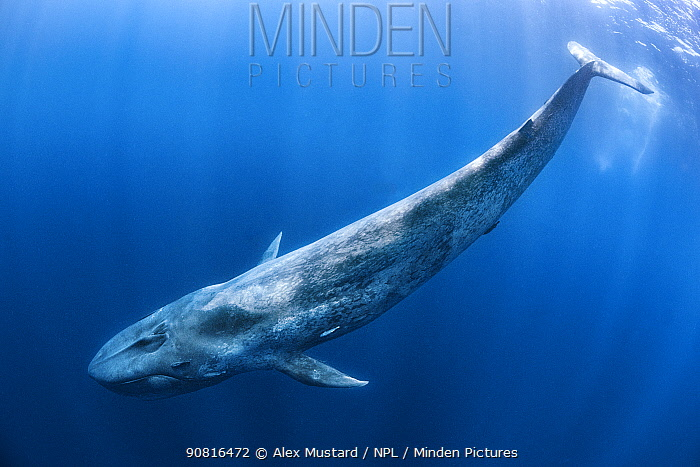 Blue whale (Balaenoptera musculus) swims beneath the surface of the ocean. Indian Ocean, off Sri Lanka.