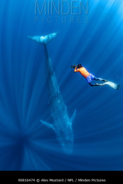 Snorkeller looking down on a Blue whale (Balaenoptera musculus) passing beneath. Indian Ocean, off Sri Lanka.