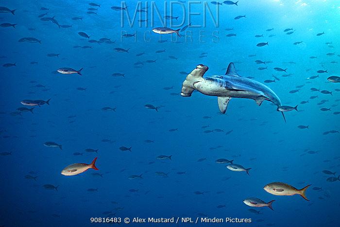 Scalloped hammerhead shark (Sphyrna lewini) swims through a school of Pacific creolefish (Paranthias colonus). Wolf Island, Galapagos National Park, Galapagos Islands.. East Pacific Ocean.