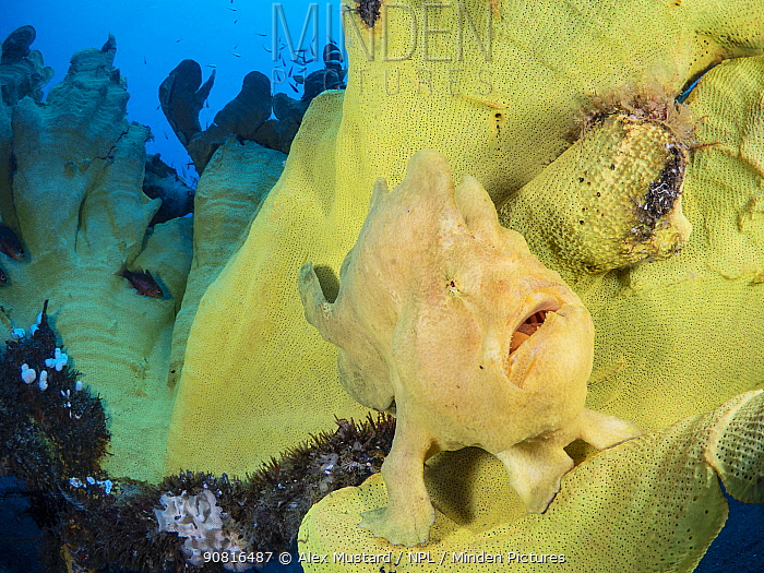 Portrait of a Giant frogfish (Antennarius commersoni) on a large Yellow elephant ear sponge (Ianthella basta). Bitung, North Sulawesi, Indonesia. Lembeh Strait, Molucca Sea.