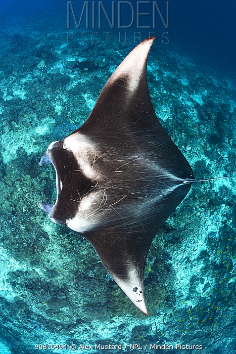 Portrait of a large female Reef manta ray (Mobula alfredi) swimming over a coral reef. Misool, Raja Ampat, West Papua, Indonesia. Ceram Sea. Tropical West Pacific Ocean.