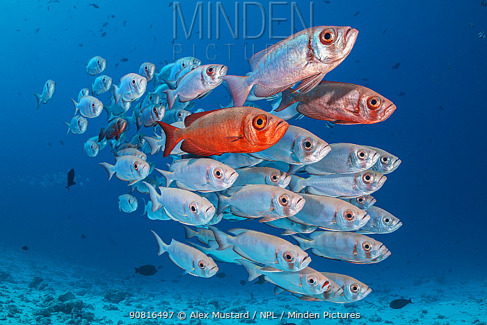 A school of Crescent-tail bigeye (Priacanthus hamrur) on a coral reef. North Male Atoll, Maldives. Indian Ocean
