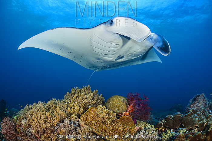 Reef manta (Mobula alfredi) female swimming close to a coral reef, while Cleaner wrasse (Labroides dimidiatus), tiny by comparison, pick parasites from its belly.. Misool, Raja Ampat, West Papua, Indonesia. Ceram Sea. Tropical West Pacific Ocean.