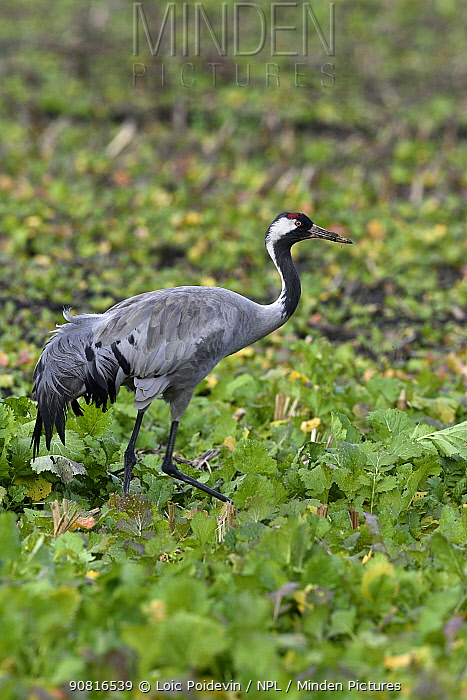 Common crane (Grus grus) foraging on agricultural land, Arjusanx Natural Reserve, Landes, France, January.
