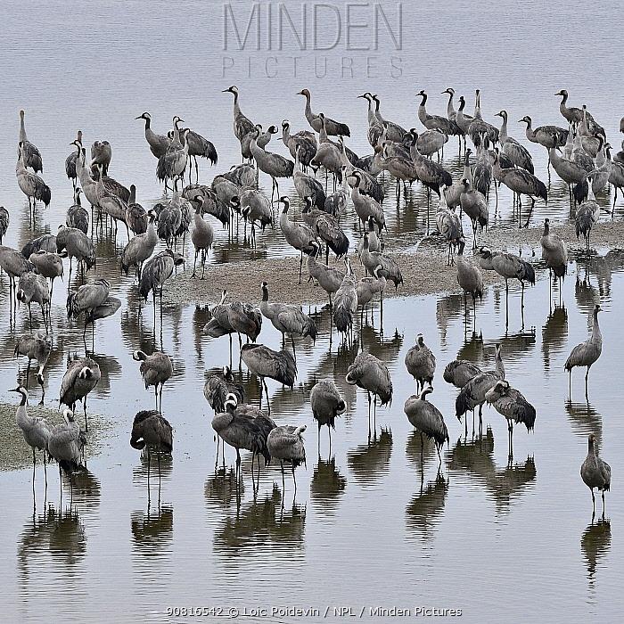 Common cranes (Grus grus) flock, Arjusanx, Landes Nature Reserve, France, January.