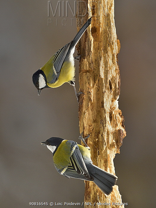 Great tit (Parus major) two perched on branch, Leon, Spain, February.