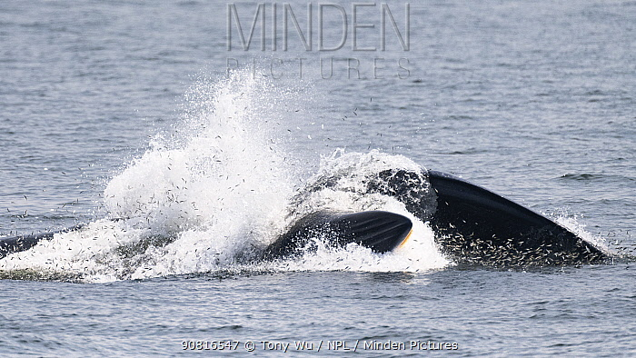 Eden's whale (Balaenoptera edeni edeni) juvenile side-lunging through a mass of fish, Gulf of Thailand.