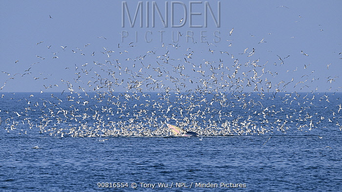 Eden's whale (Balaenoptera edeni) side lunging surrounded by terns, a behaviour which has become prevalent. since 2017. Gulf of Thailand.