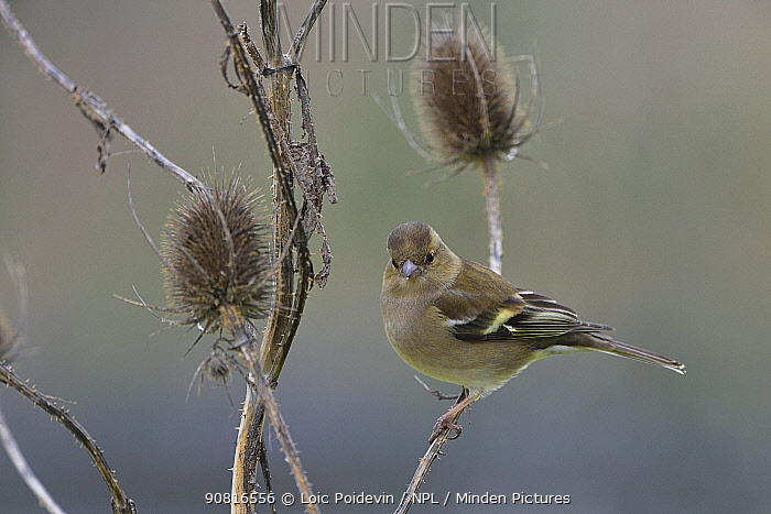 Common chaffinch (Fringilla coelebs) female perched on teasel. Vendee, France, January.