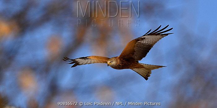 Red kite (Milvus milvus) in flight, Leon, Spain, February