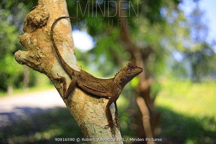 Brown pricklenape lizard (Acanthosaura lepidogaster) female in karst rainforest within the Phong Nha-Ke Bang National Park in central Vietnam. Dry season.