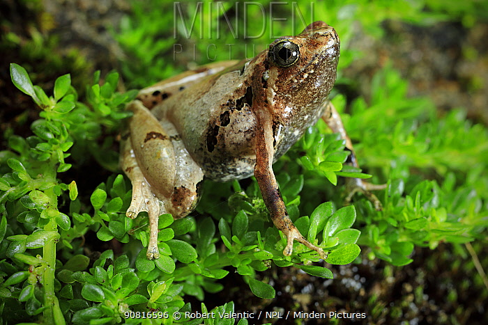 Narrow-mouthed frog (Microhyla marmorata) male, from montane rainforest at Phong Lan, Bach Ma National Park, Vietnam. Dry season.