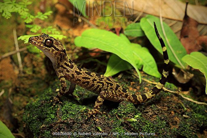 Gecko (Cyrtodactylus pseudoquadrivirgatus) from elevated rainforest habitat on the summit trail, Phong Lan, Bach Ma National Park, central Vietnam. Dry season.