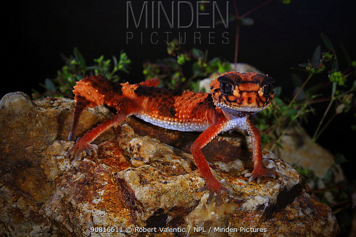Southern knob-tailed gecko (Nephrurus w. wheeleri) male, Cue, southern central Western Australia. January.