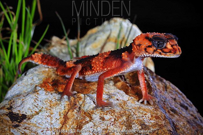 Banded knob-tailed gecko (Nephrurus wheeleri wheeleri) male, near Cue, Western Australia, January.