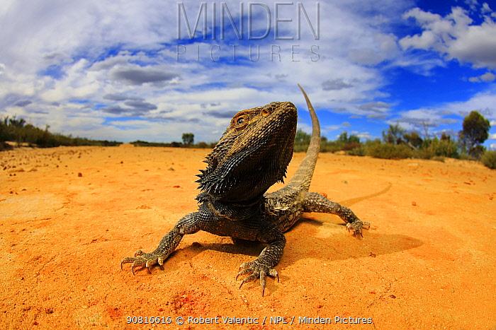 Central bearded dragon (Pogona vitticeps) basking in mallee / heathland habitat on the Murrayville Track in the Big Desert Wilderness of north-western Victoria, Australia.